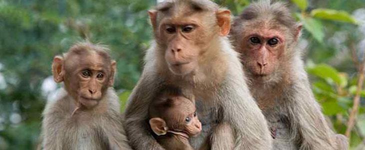 صدای میمون و شامپانزه