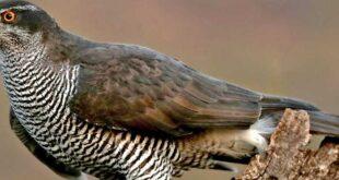 افکت صوتی پرنده باز GOSHAWK