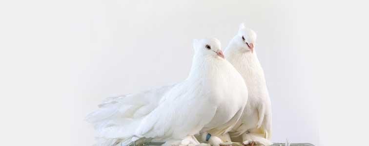 دانلود صدای کبوتر